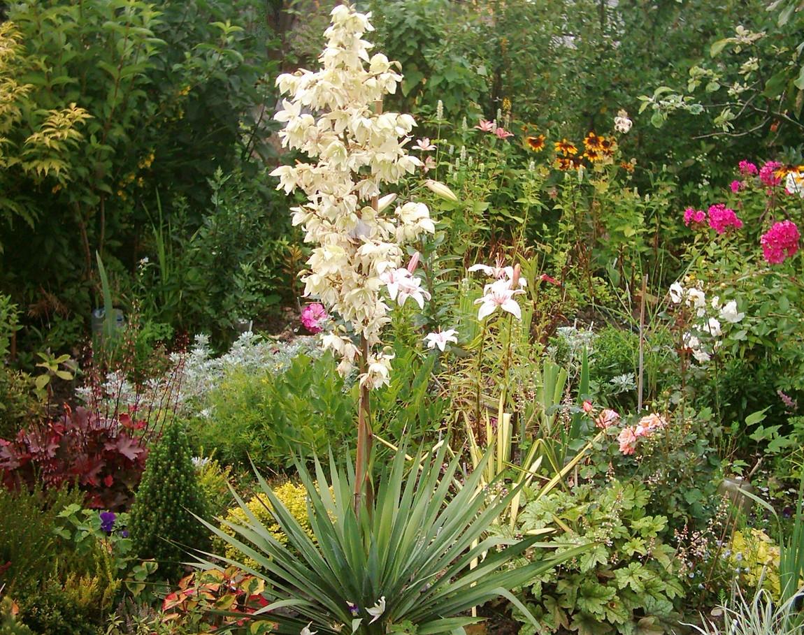 юкка в саду фото