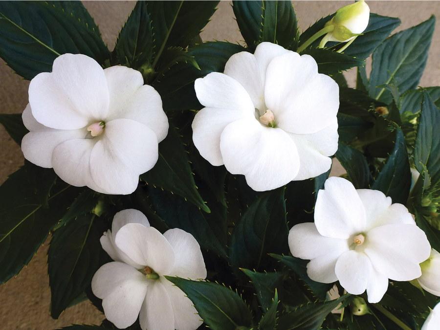 Бальзамин сорта Thumb White с полумахровыми цветками