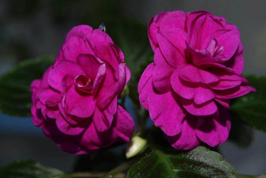 Фиолетовые цветки бальзамина сорта Том Самб Violet