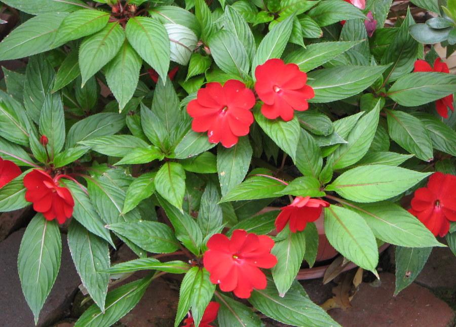 Красные цветки на кустике бальзамина Хокера