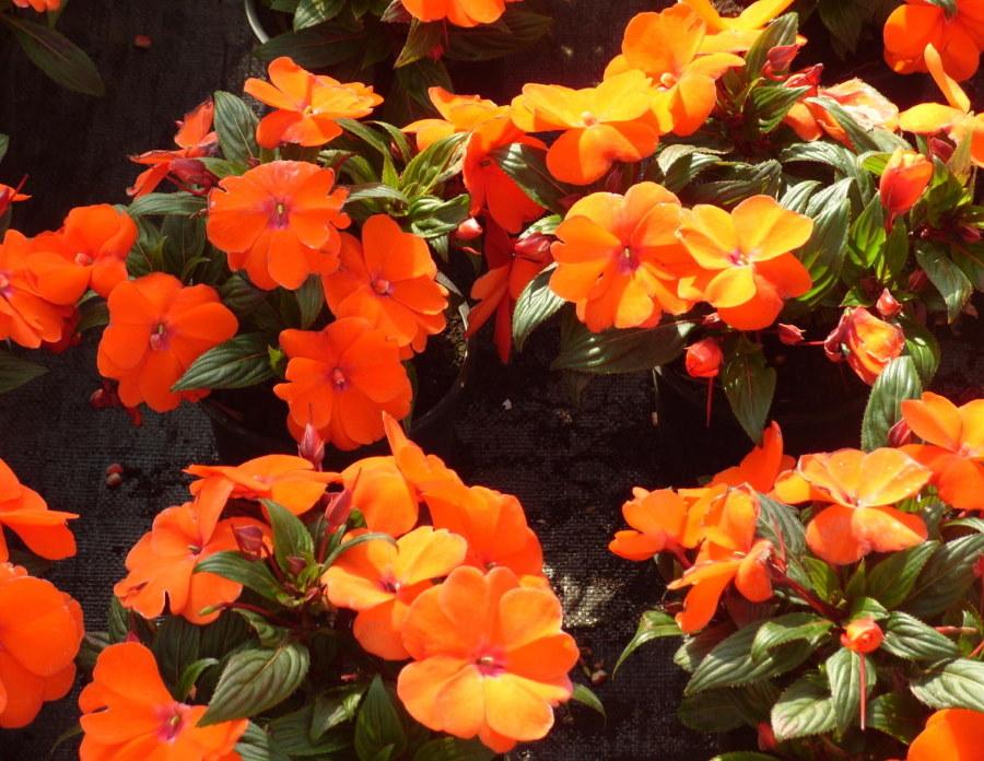 Бальзамин новогвинейский с ярко-оранжевыми цветками