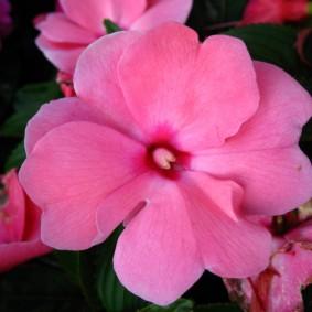 Крупный цветок бальзамина сорта Розовая звезда