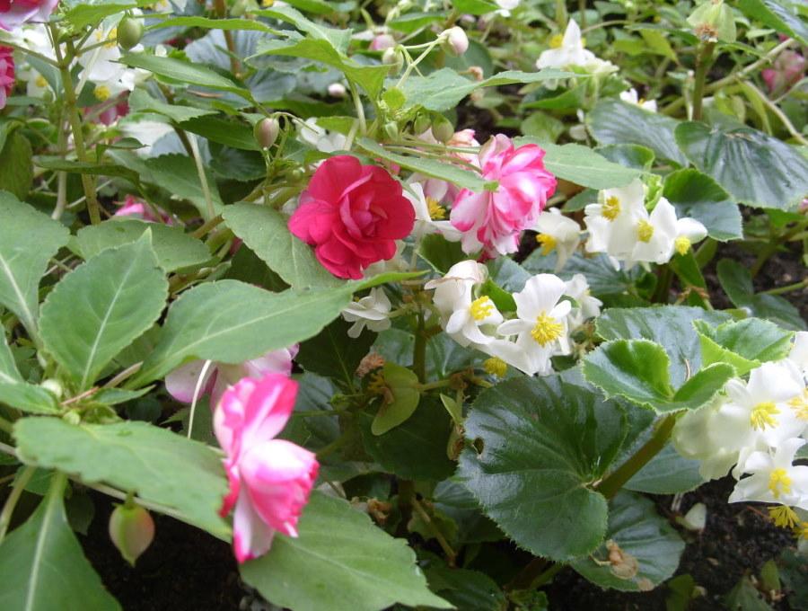Вечноцветущая бегония среди крупноцветкового бальзамина
