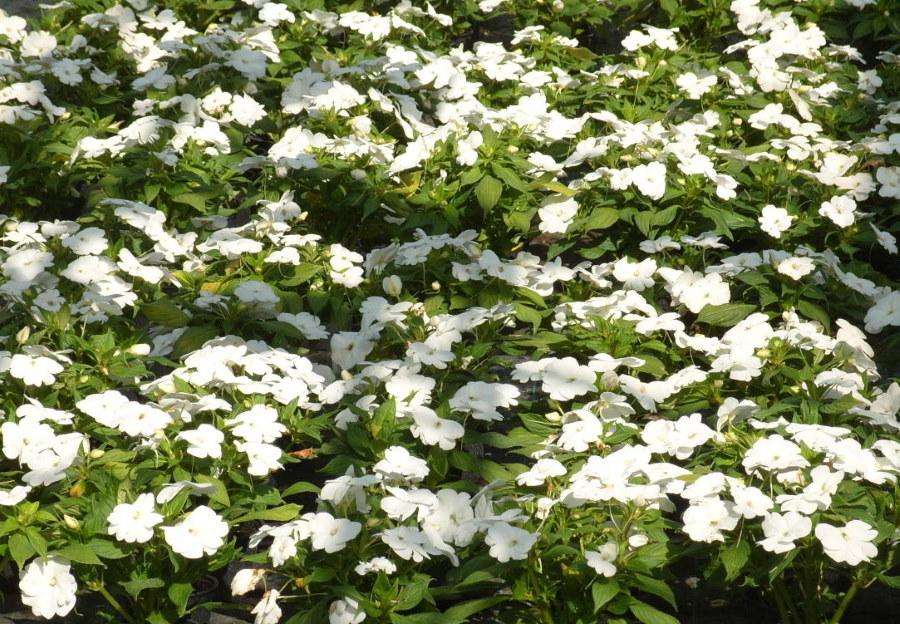Цветение белого бальзамина Уоллера на загородном участке