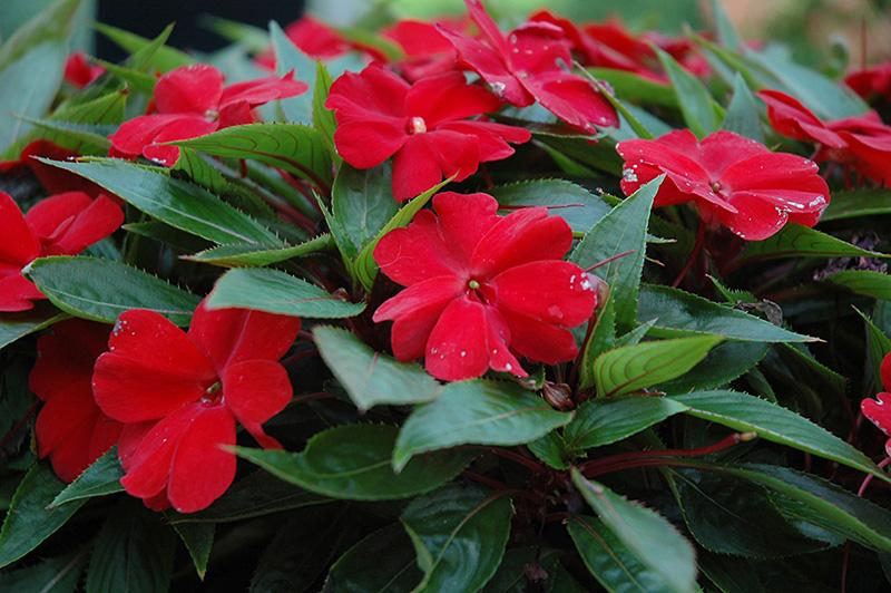 Насыщенная окраска крупноцветкового бальзамина