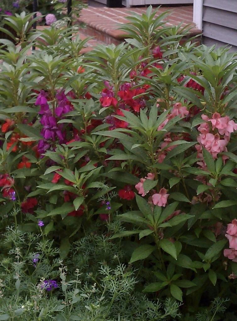 Высокие стебли бальзамина с мелкими цветками