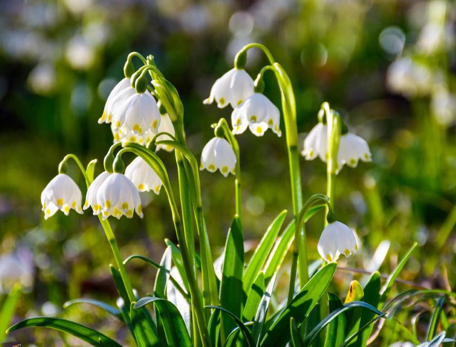 Белые колокольчики на белоцветнике ранней весной