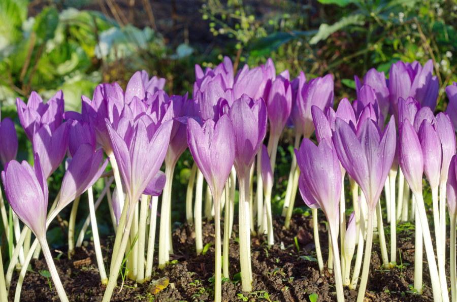 Нежно-сиреневые цветки колхикума на осенней клумбе