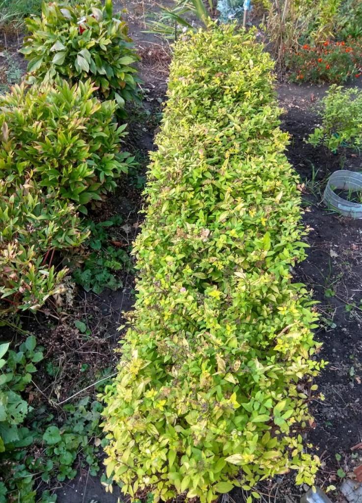 Бордюр из японской спиреи на садовом участке