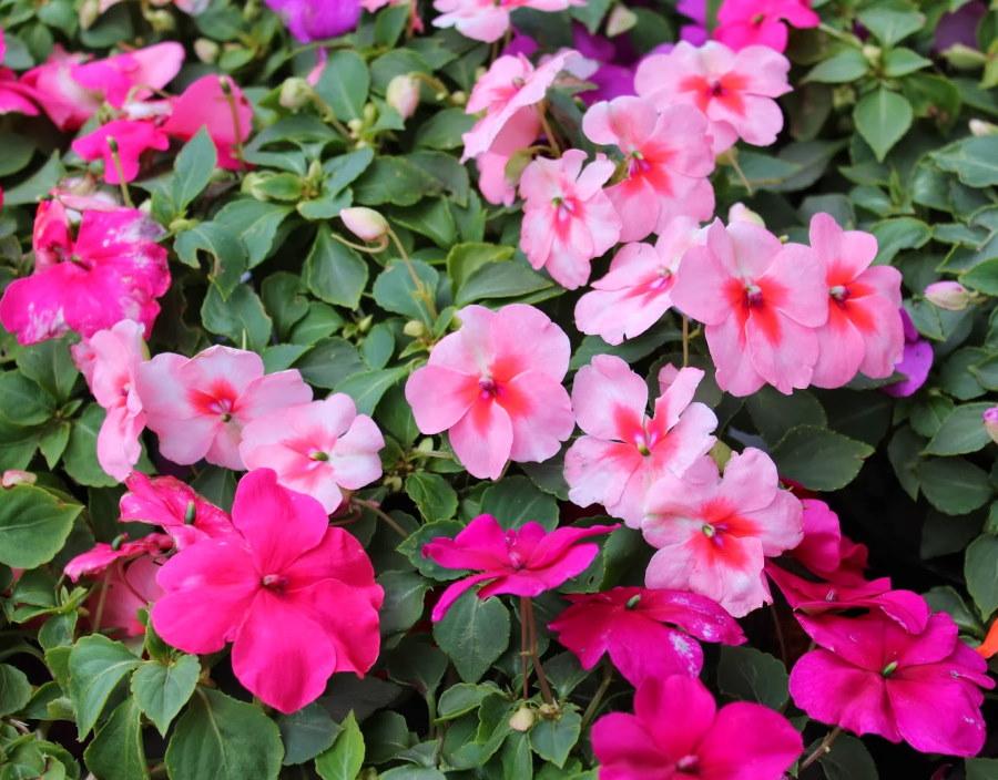 Фото цветков садового бальзамина на клумбе