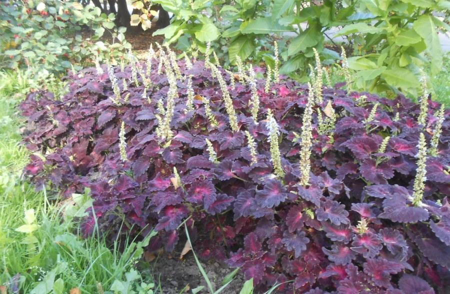 Цветение колеуса на садовом участке