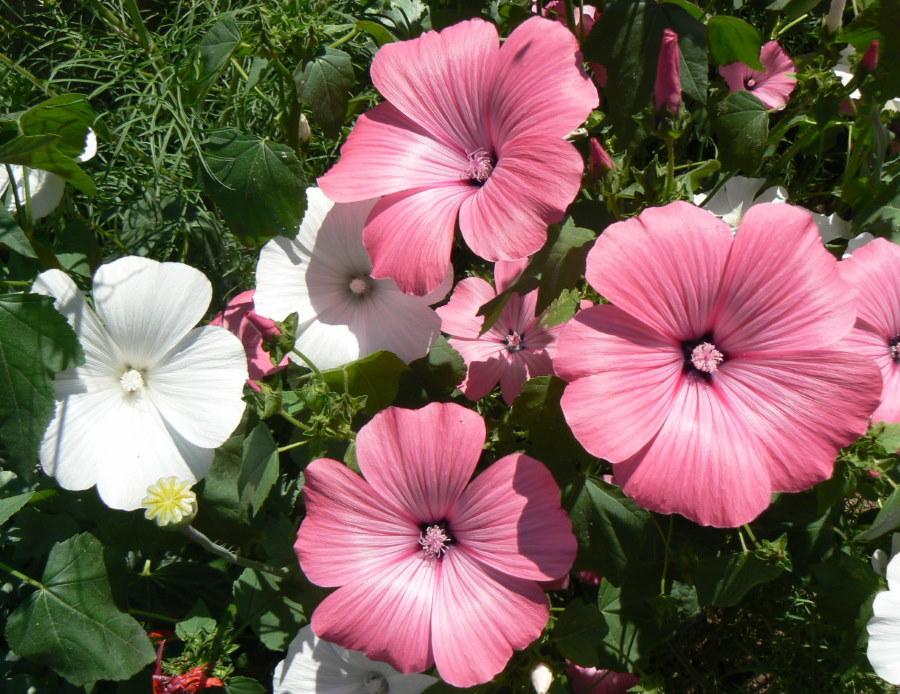 Цветки лаватеры розового и белого окраса крупным планом