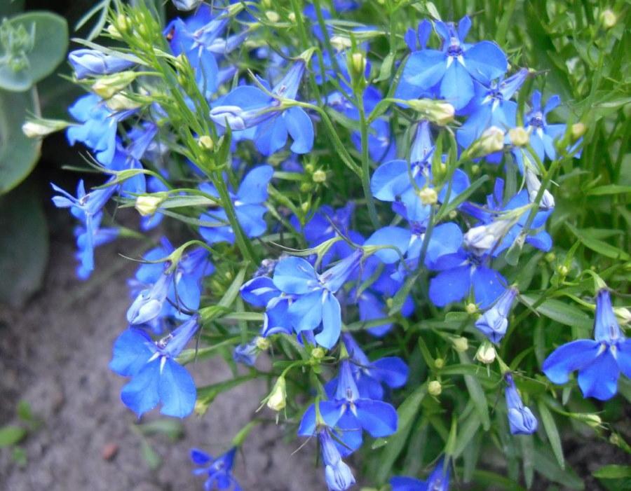 Голубые цветки на кусту лобелии из семейства колокольчиков