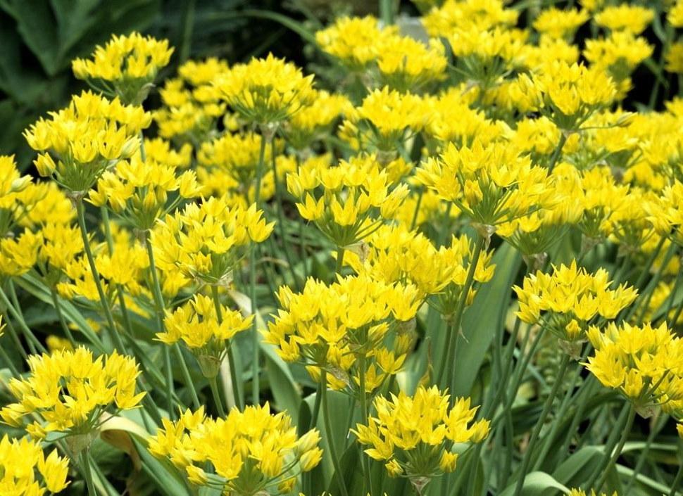 Желтый декоративный лук сорта Молли