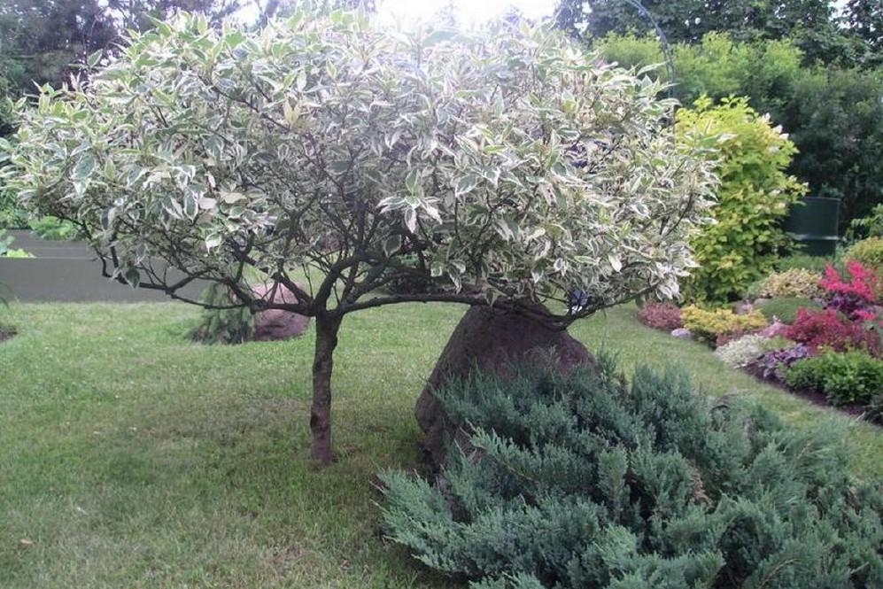 дёрен в форме дерева