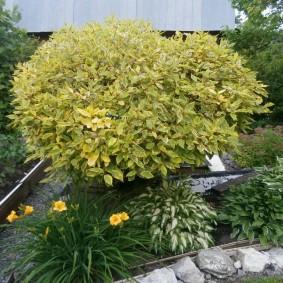 дёрен в саду фото оформления