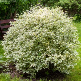 дёрен в саду