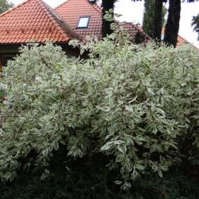 дёрен в саду фото видов