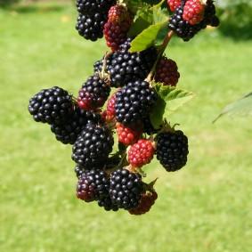 ежевика для сада ягоды