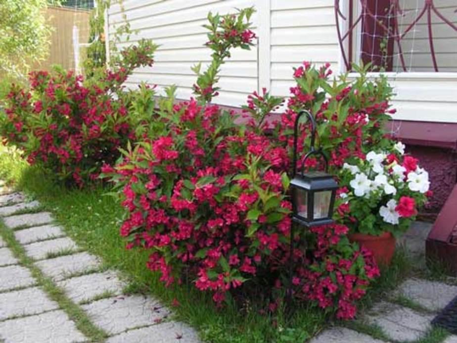 Цветущая вейгела около дома с обшивкой сайдингом