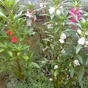 Мелкие цветки на длинных стеблях