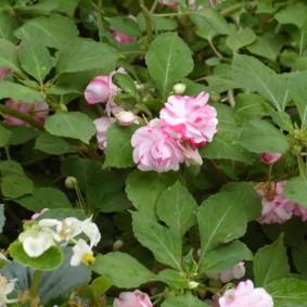 Розово-белые соцветия на садовом бальзамине