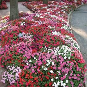 Рабатка из бальзаминов в городском парке