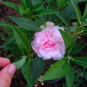 Махровый цветок с нежно-розовыми лепестками