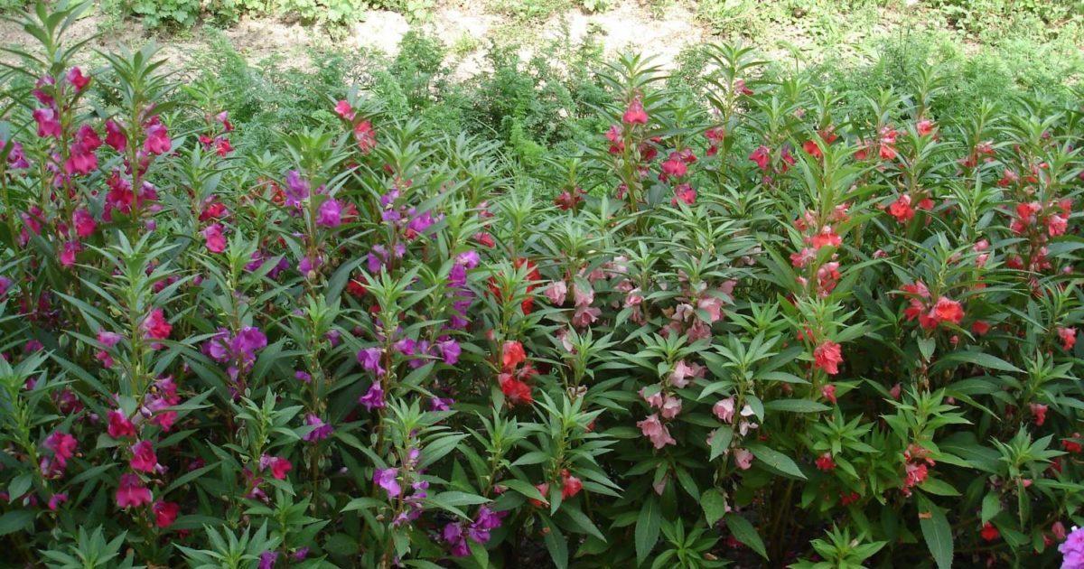 бальзамин садовый выращивание и уход фото говоря