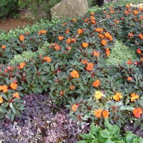 Оранжевые бальзамины на дачной клумбе