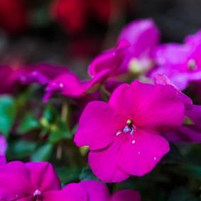 Полумахровый цветок сиреневого окраса