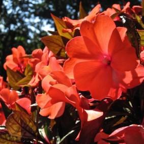 Ярко-алые цветки на садовом бальзамине