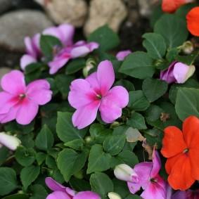 Сиреневые цветки на однолетнем растении