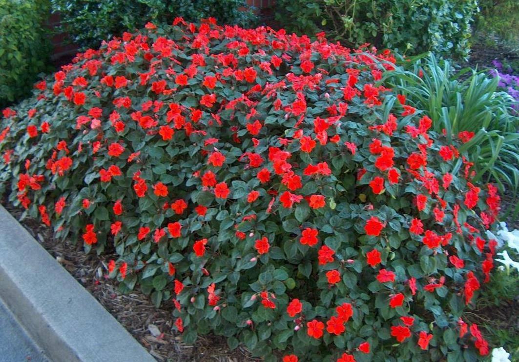 чипсы получаются садовые цветы любящие тень фото и название пустельга тоже небольших