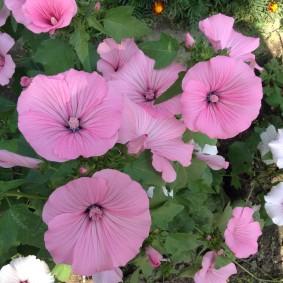 Нежно-розовые цветки многолетней лавареты