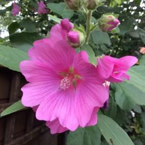 Много лепестковый цветок трехмесячной лавареты