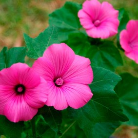 Ярко-розовый цветок с приятным ароматом
