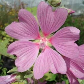 Пятилепестковый цветок розового окраса