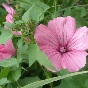 Темно-розовые прожилки на цветке лавареты