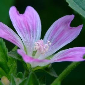 Лиловая окраска цветка лавареты