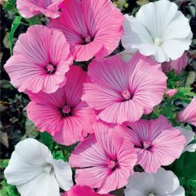 Смесь цветков многолетней лавареты