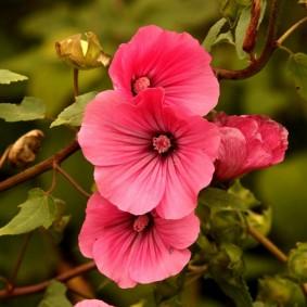 Насыщенная окраска цветка на травянистом кустарнике