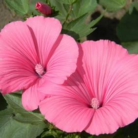 Розовые цветки с нежными лепестками