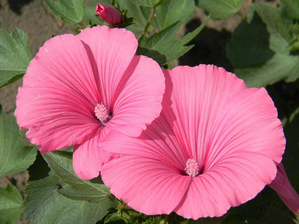 цветы лаватера фото гараж, рассчитанный два