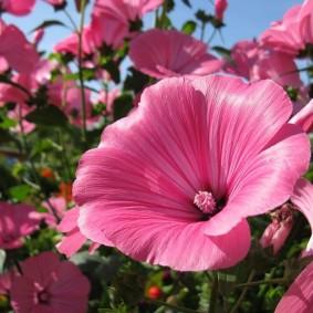 Фото цветка лавареты под ярким солнцем