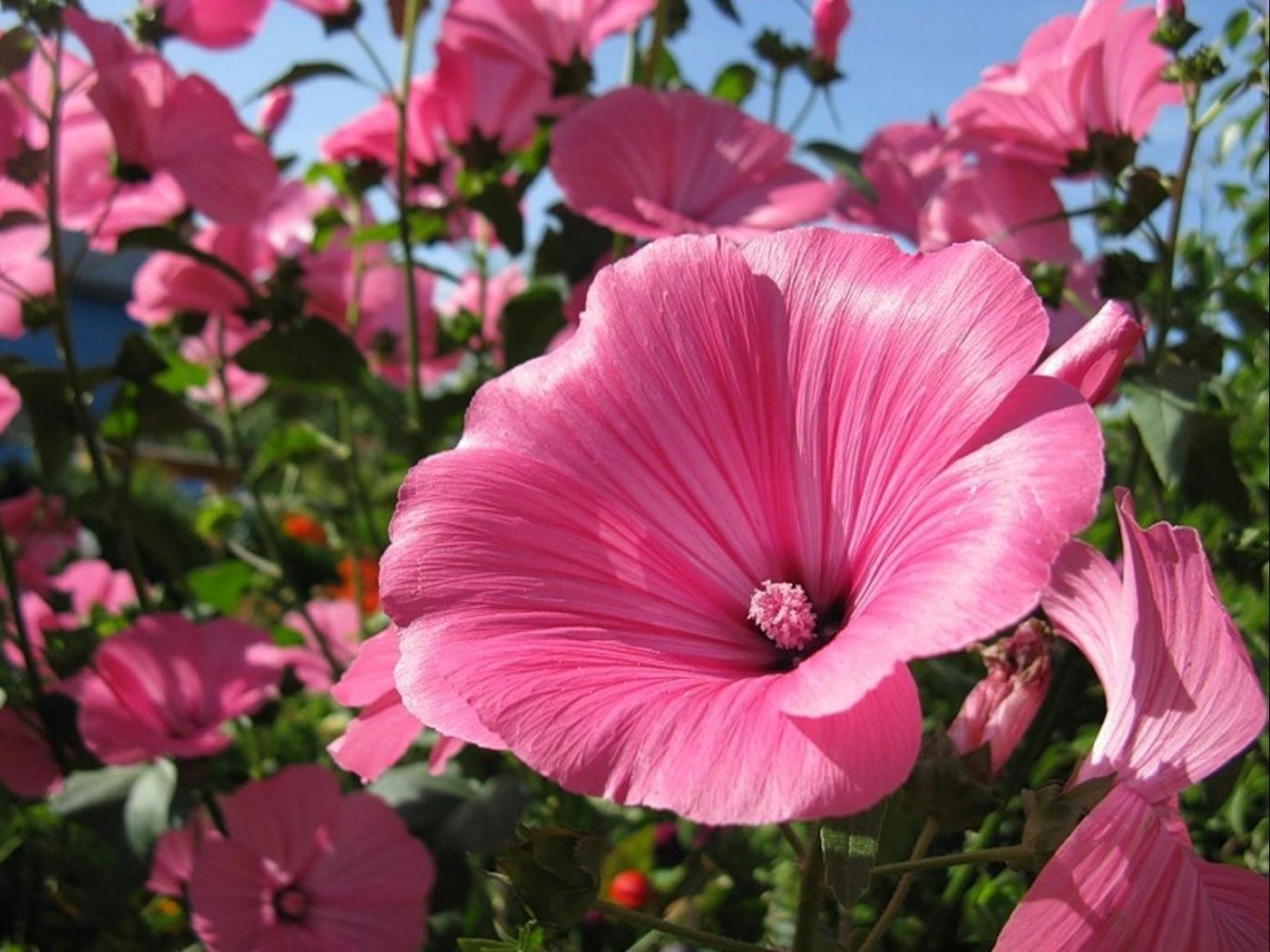 цветы лаватера фото медиков система