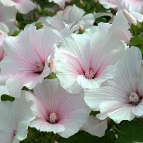 Розовая сердцевина на белых цветках
