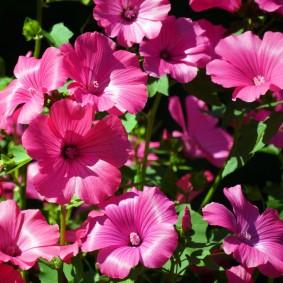 Обильное цветение лавареты с прямыми стеблями