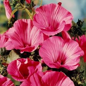 Красивые цветы на кустарники с травянистым стеблем