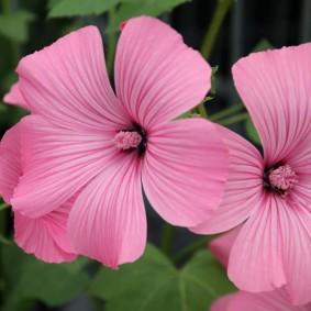Розовый пестик внутри садового цветка